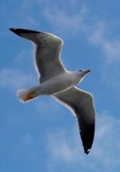 Plums Freedom Bird facing right cr